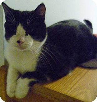 Domestic Shorthair Cat for adoption in Hamburg, New York - Flakes