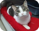 Domestic Mediumhair Cat for adoption in Silver City, New Mexico - Patches