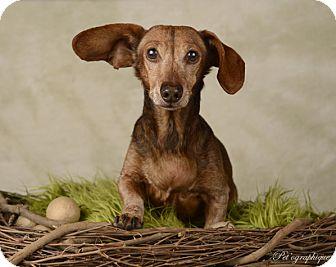 Dachshund Dog for adoption in Henderson, Nevada - Alvin