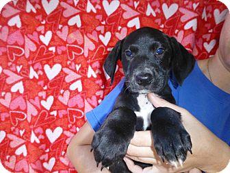 Border Collie/Labrador Retriever Mix Puppy for adoption in Oviedo, Florida - Akira