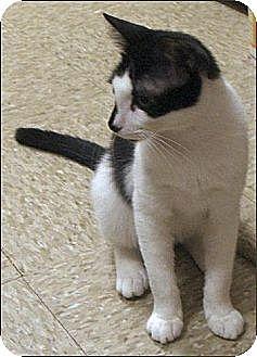 Domestic Shorthair Cat for adoption in Atlanta, Georgia - Tot