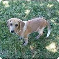 Adopt A Pet :: Sweet William - Indianapolis, IN