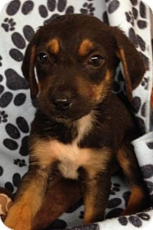 Shepherd (Unknown Type)/Labrador Retriever Mix Puppy for adoption in Kimberton, Pennsylvania - Anthony