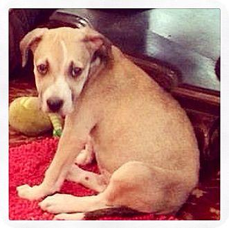 American Bulldog Mix Puppy for adoption in Grand Bay, Alabama - Major