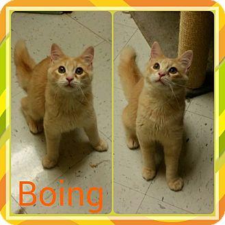 Domestic Mediumhair Kitten for adoption in Newnan, Georgia - Boing