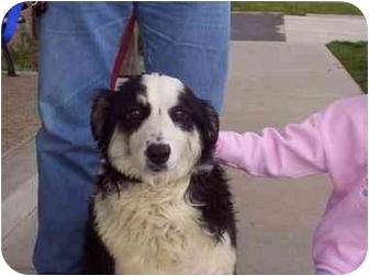 Australian Shepherd Dog for adoption in Orem, Utah - Angelei