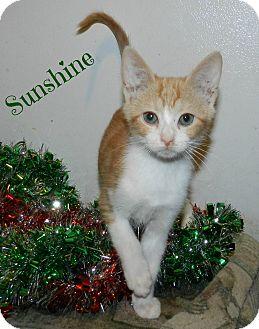 Domestic Shorthair Kitten for adoption in Lawrenceburg, Tennessee - Sunshine