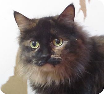 Domestic Longhair Cat for adoption in Colville, Washington - Mustang Sally