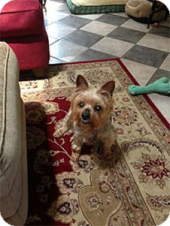 Silky Terrier Dog for adoption in Wilmington, Massachusetts - Lucy