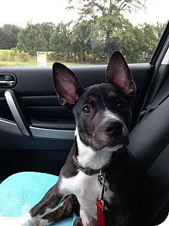 German Shepherd Dog/Redtick Coonhound Mix Puppy for adoption in Apex, North Carolina - Darcie