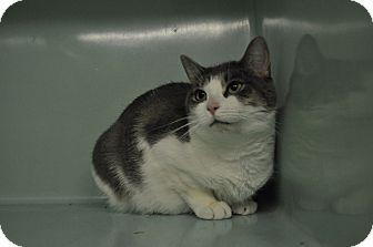 Domestic Shorthair Cat for adoption in Rockaway, New Jersey - Georgine