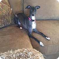 Adopt A Pet :: Adele in DFW area - Argyle, TX