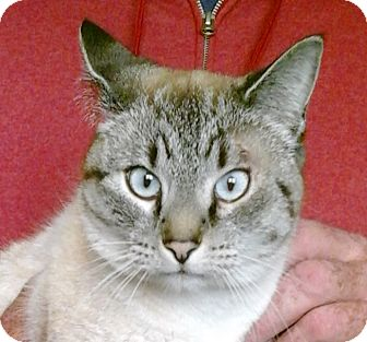 Siamese Cat for adoption in Colonial Heights, Virginia - Chyna