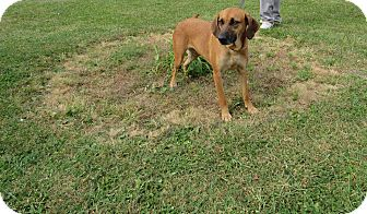 Hound (Unknown Type) Mix Dog for adoption in Cameron, Missouri - JUNO