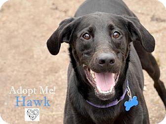 Labrador Retriever Mix Dog for adoption in West Des Moines, Iowa - Hawk