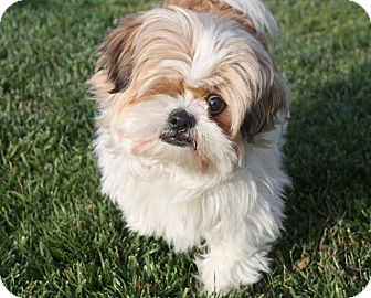 Lhasa Apso Dog for adoption in Henderson, Nevada - Belle