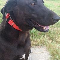 Labrador Retriever Mix Dog for adoption in Cat Spring, Texas - Coco