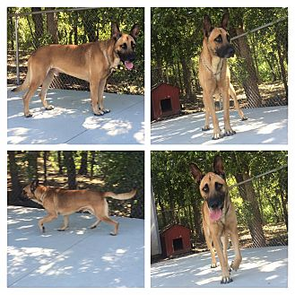 Belgian Malinois Dog for adoption in Everman, Texas - Wolfgang