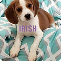 Adopt A Pet :: Irish - House Springs, MO