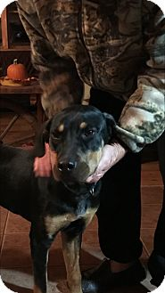 Hound (Unknown Type)/Doberman Pinscher Mix Dog for adoption in Silverdale, Washington - Prince