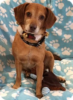 Beagle Mix Dog for adoption in Newtown, Connecticut - JD