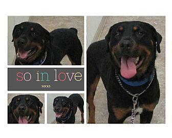 Rottweiler Dog for adoption in Clear Lake, Iowa - Socks