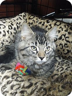 Domestic Longhair Kitten for adoption in Toronto, Ontario - Clawd