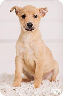 Labrador Retriever/German Shepherd Dog Mix Puppy for adoption in Portland, Oregon - Dove