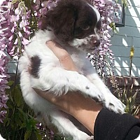 Adopt A Pet :: Clover - Santa Barbara, CA