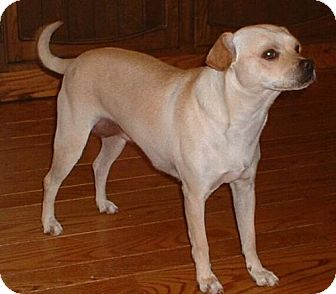Pug/Beagle Mix Dog for adoption in Antioch, California - Buttercup