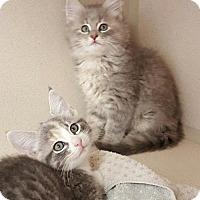 Adopt A Pet :: Suri - Hollywood, MD