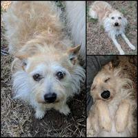 Adopt A Pet :: Auggie - Edmond, OK