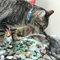 Adopt A Pet :: Corbin - Oxnard, CA