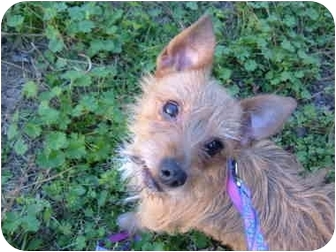 Jack Russell Terrier/Yorkie, Yorkshire Terrier Mix Dog for adoption in No.Charleston, South Carolina - Sydney