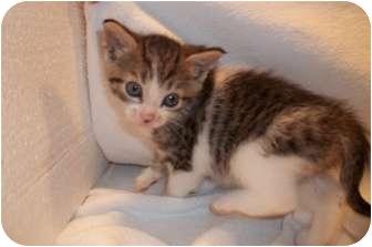Domestic Shorthair Kitten for adoption in Acme, Pennsylvania - Tyra