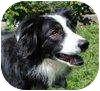 Border Collie Mix Dog for adoption in Portola, California - Quiglie