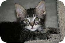 Domestic Mediumhair Kitten for adoption in Tucson, Arizona - Chleo