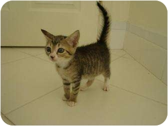 Domestic Shorthair Kitten for adoption in Coral Springs, Florida - Brook
