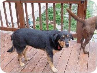 Rottweiler/Labrador Retriever Mix Dog for adoption in Lebanon, Maine - Roxie
