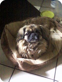 Pekingese Dog for adoption in Detroit, Michigan - Miss miss