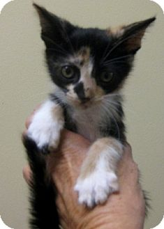 Maine Coon Kitten for adoption in Dallas, Texas - Canasta