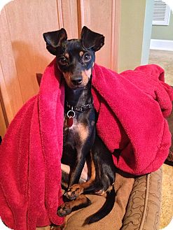 Miniature Pinscher Dog for adoption in Nashville, Tennessee - Sabrina