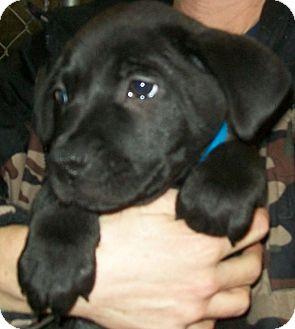 Border Collie/Labrador Retriever Mix Puppy for adoption in Grants Pass, Oregon - Mr. Jinks