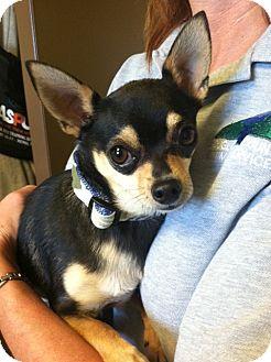 Chihuahua Dog for adoption in Gardnerville, Nevada - Leonardo