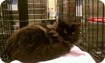 Turkish Angora Kitten for adoption in Pittstown, New Jersey - Puffy
