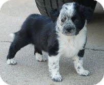 Border Collie Mix Puppy for adoption in Allentown, Pennsylvania - Ella