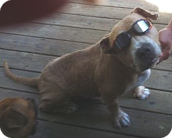 American Bulldog Mix Dog for adoption in Conesus, New York - Dustin ~courtesy post~