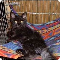 Domestic Mediumhair Cat for adoption in Stuarts Draft, Virginia - Lucy