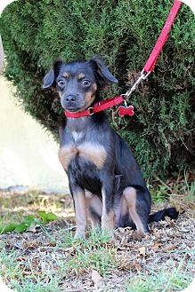 Chihuahua/Dachshund Mix Puppy for adoption in Encino, California - Elsa - Karina Pup