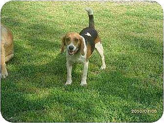 Beagle Dog for adoption in Brookside, New Jersey - AL